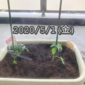 【ベランダ菜園】ミニトマト2020.5.1
