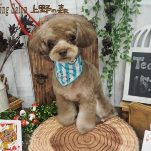 ☆MIX犬(チワワ×プードル)のゆずちゃん☆
