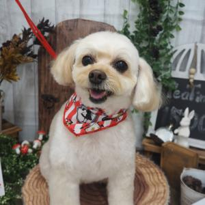 ☆MIX犬(チワワ×プードル)のライラちゃん☆