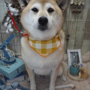 ☆柴犬のハルちゃん☆