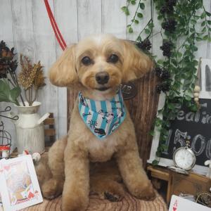 ☆MIX犬(トイプードル×マルチーズ)