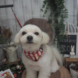 ☆MIX犬(チワワ×ポメラニアン)のチョビちゃん☆