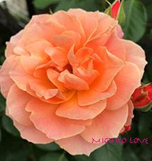 ハートの喜びで愛へ開く・愛のエロヒムのメッセージ