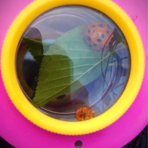 日本最大のテントウムシに、びっくりぽん‼︎