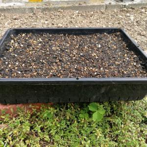 小カブの育苗箱栽培