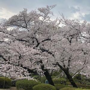 哲学堂に桜を見てきました