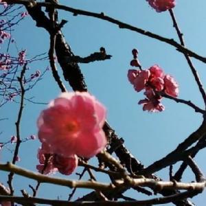 梅の花の季節ですね☆