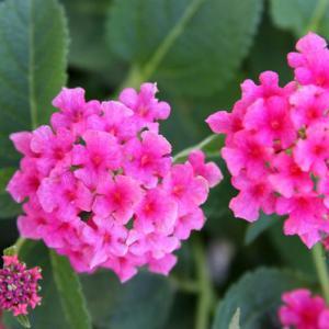 我家の玄関の花壇では、七変化のランタナが色濃さを増し、秋の訪れを醸し出している