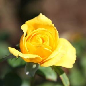 白木峰高原手前の大室さん宅のバラ園では、秋バラが花開き、秋の薫りを醸し出している