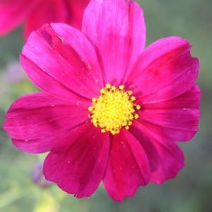 白木峰高原では、コスモスが花開き、秋の深まりへと誘っている