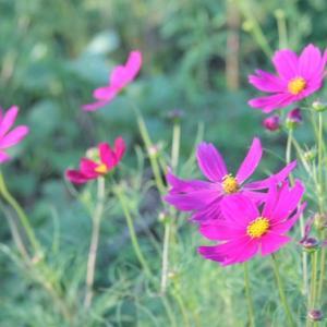 白木峰高原では、コスモスが花開き、秋の薫りを醸し出している。 の写真に、BGMをインサートし、動画にしました。  動画