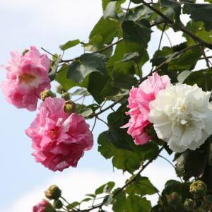 黒埼通りの路傍の畑では、八重咲きの酔芙蓉が花開き、秋の深まりへと誘っている。 の写真に、BGMをインサートし、動画にしました。  動画