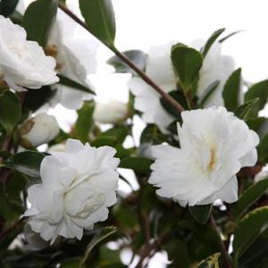 山茶花高原では、山茶花の花が咲き始め、初冬の薫りを醸し出している