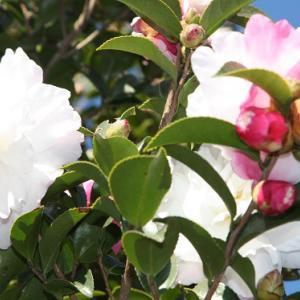 森山図書館通りには、八重山茶花が花開き、初冬の薫りを醸し出している