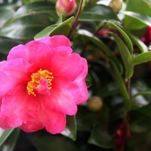 我が家の庭では、山茶花が花開き、初冬の薫りを醸し出している