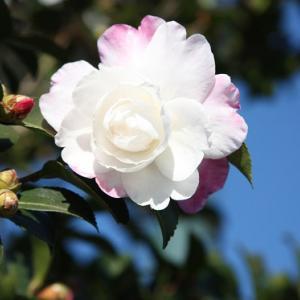 森山図書館通りには、八重山茶花が花開き、初冬の薫りを醸し出している。 の写真に、BGMをインサートし、動画にしました。  動画
