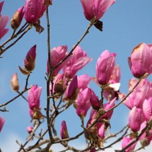長崎県道136号線・法川通り路傍の民家には、紫木蓮が花開き、春の兆しを醸し出している。 の写真に、BGMをインサートし、動画にしました。  動画