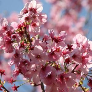 神津倉・権現神社では、早咲きの桜が花開き、ソメイヨシノの開花へと誘っている
