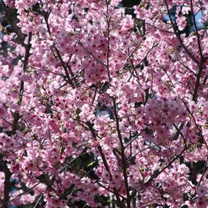 神津倉・権現神社では、早咲きの桜が花開き、ソメイヨシノの開花へと誘っている。 の写真に、BGMをインサートし、動画にしました。  動画
