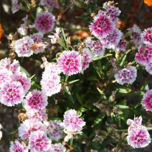 国道207号線・田島川通りの花壇には、キンセンカとサクラソウとがコラボして、初夏の薫りを醸し出している。 の写真に、BGMをインサートし、動画にしました。  動画