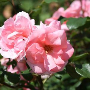 白木峰町・個人のお家のバラ園では、色取り取りのバラが咲き誇り、初夏の薫りを醸し出している