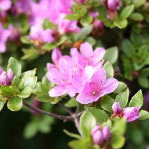 雲仙・仁多峠では、ミヤマキリシマが咲き誇り、初夏の薫りを醸し出している。