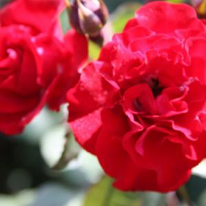 白木峰町・個人のお家のバラ園では、色取り取りのバラが咲き誇り、初夏の薫りを醸し出している。 の写真に、BGMをインサートし、動画にしました。  動画