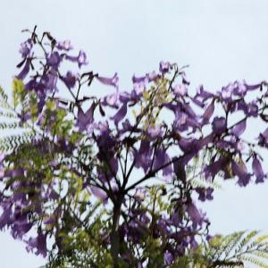 小浜温泉通りでは、ジャカランダが花開き、仲夏の薫りを醸し出している