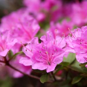 雲仙・仁多峠では、ミヤマキリシマが咲き誇り、初夏の薫りを醸し出している。 の写真に、BGMをインサートし、動画にしました。  動画