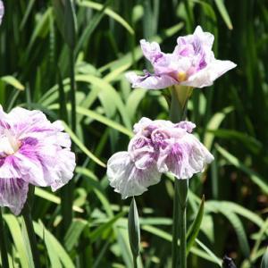 大村公園では、菖蒲が花開き、仲夏の薫りを醸し出している