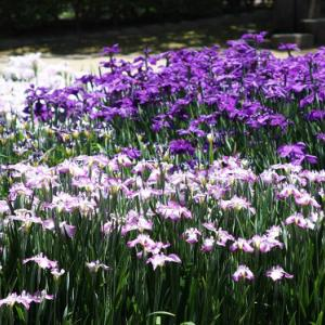 大村公園では、菖蒲が花開き、仲夏の薫りを醸し出している。 の写真に、BGMをインサートし、動画にしました。  動画