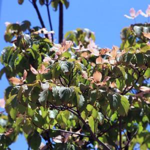 長崎県道128号線・おしどり池通りには、ピンク色のヤマボウシが花開き、梅雨明け空へと誘っている