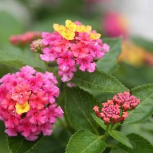 我家の玄関の花壇には、七変化のランタナが咲き誇り、梅雨明け空へと誘っている