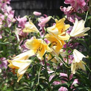 黒崎通り・Aさんのお家の花壇では、ピンクとイエローのカサブランカが咲き誇り、梅雨明けの空へと誘っている。 の写真に、BGMをインサートし、動画にしました。  動画