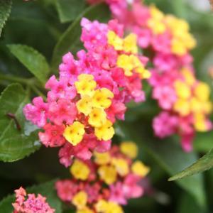 我家の玄関の花壇には、七変化のランタナが咲き誇り、梅雨明け空へと誘っている。 の写真に、BGMをインサートし、動画にしました。  動画