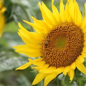 長田バイパス下・長田駅前通り路傍の畑には、向日葵が咲き誇り、梅雨明け空の薫りを醸し出している