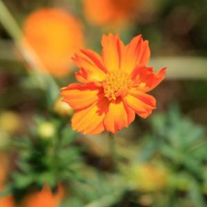 長崎県道58号線・有明の森フラワー公園上の路肩には、キバナコスモスが花開き、白露の薫りを醸し出している