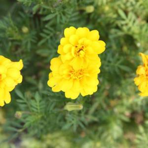 諫早湾干拓道路駐車場の花壇では、ニチニチソウとマリーゴールドとが花開き、仲秋の薫りを醸し出している。 の写真に、BGMをインサートし、動画にしました。  動画