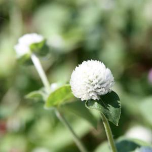黒崎公民館上の路傍の畑には、ケイトウ・ヒャクニチソウ・センニチソウとがコラボして、寒露の薫りを醸し出している