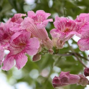 黒崎通りの民家には、ブーゲンビリアが花開き、綿秋の薫りを醸し出している