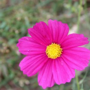 黒崎公民館上の路傍の畑では、コスモスが花開き、秋冷の薫りを醸し出している。 の写真に、BGMをインサートし、動画にしました。  動画
