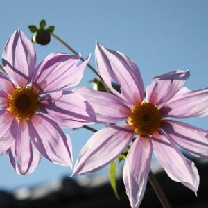 小峰通りのお家には、皇帝ダリアが花開き、晩秋の薫りを醸し出している。 の写真に、BGMをインサートし、動画にしました。  動画