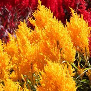 黒崎公民館上の路傍の畑には、色鮮やかなケイトウが花開き、初冬の薫りを醸し出している