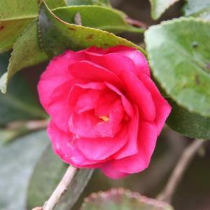 最強寒波を迎えた祐徳稲荷神社では、ロウバイ・冬牡丹・寒椿がコラボして、初春の薫りを醸し出している(その2)