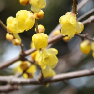 最強寒波を迎えた祐徳稲荷神社では、ロウバイ・冬牡丹・寒椿がコラボして、初春の薫りを醸し出している(その1) の写真に、BGMをインサートし、動画にしました。  動画
