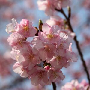 大村市久原公園では、河津桜が咲き誇り、浅春の薫りを醸し出している