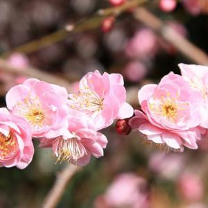 西尾・大砂踏切通り上の民家では、枝垂れ梅が咲き誇り、雨水の薫りを醸し出している。 の写真に、BGMをインサートし、動画にしました。  動画