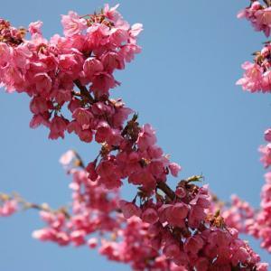 雲仙市国見町・鍋島邸では、緋寒桜が咲き誇り、浅春の薫りを醸し出している
