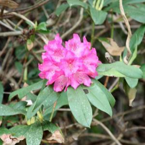 名水百選轟峡・名水取水場では、筑紫石楠花が花開き、清明の薫りを醸し出している