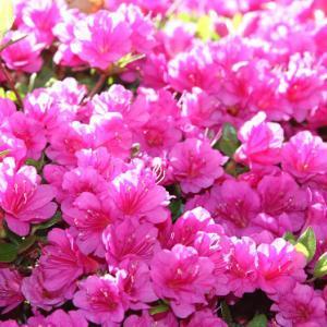 諫早公園では、つつじが花開き、穀雨の薫りを醸し出している。 の写真に、BGMをインサートし、動画にしました。  動画